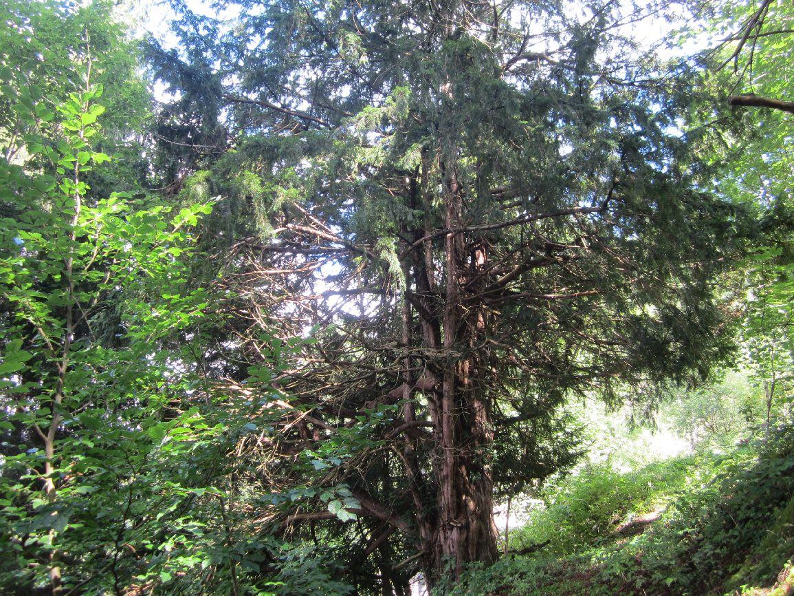 Eibe im Frankenwald